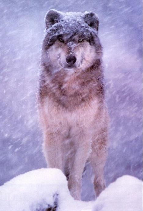 wolf13.jpg