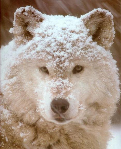 wolf17.jpg