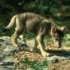wolf20c.jpg
