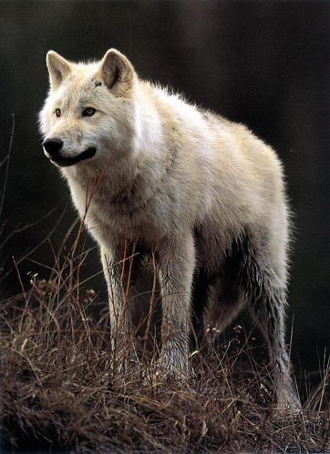 wolf8.jpg